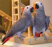 Очаровательная Tame африканский серый попугай