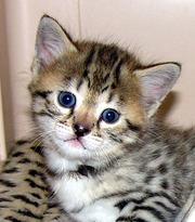 милый котенок саванны