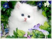 супер милые персидские котята