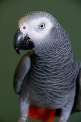 Африканский серый попугай нуждается в замечательном доме