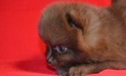Щпица померанского щенков (карликовые)