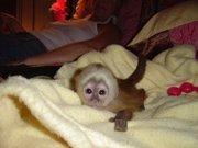 Замечательное обезьян-капуцинов
