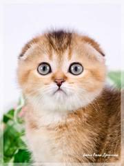 Продаются шотландские котята с питомника CUTIE DE
